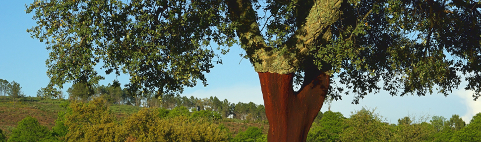 cork-tree_old_home